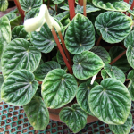 peperomia plant at nursury with naturally wrinkled leaves